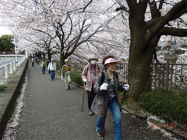 桜Walking